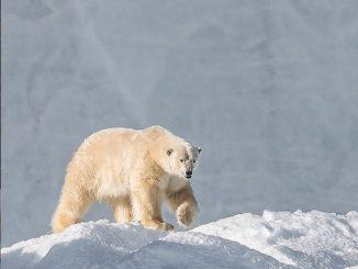 orso_polare_cacciatori