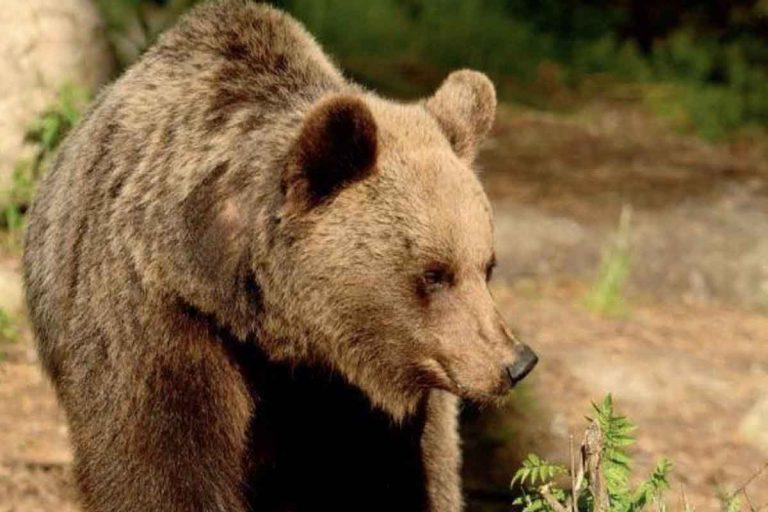 Trentino orso ferisce padre e figlio