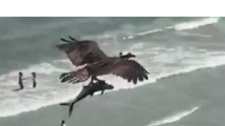 Aquila cattura squalo a Mrtyle Beach