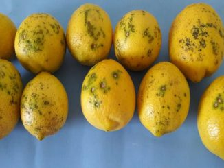 I limoni con 'macchia nera' provenienti dall'Argentina