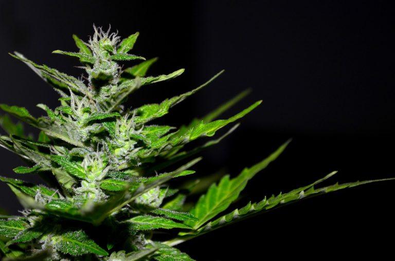Cannabis coltivata da 80enne