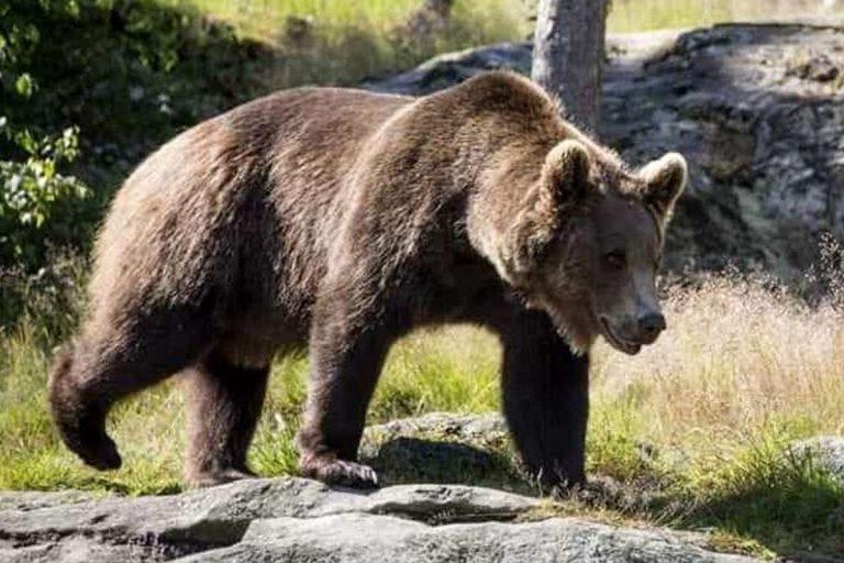 orso m49 scappato trentino