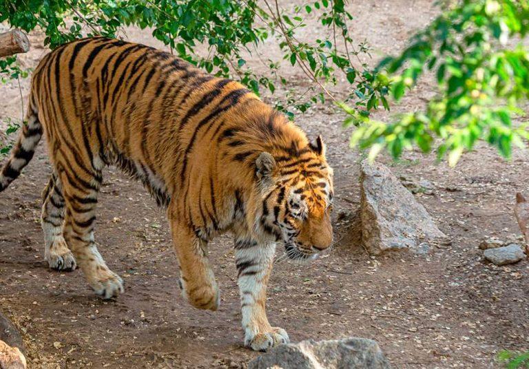 tigre-zoo-zurigo