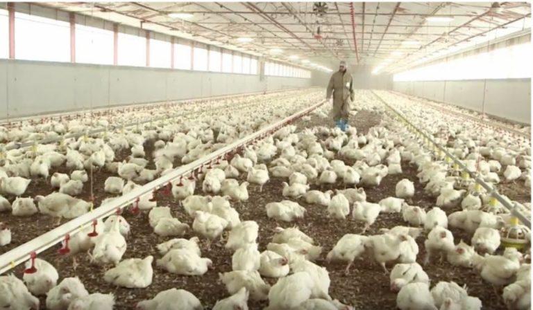 Gli allevamenti intensivi di McDonald sotto accusa