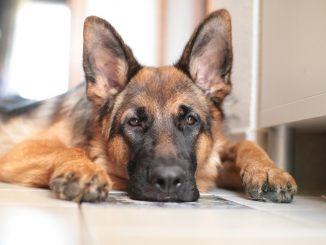 morto cane affetto da COVID - 19