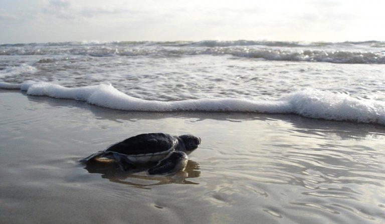 Castiglione della Pescaia: danneggiano nido di tartaruga marina