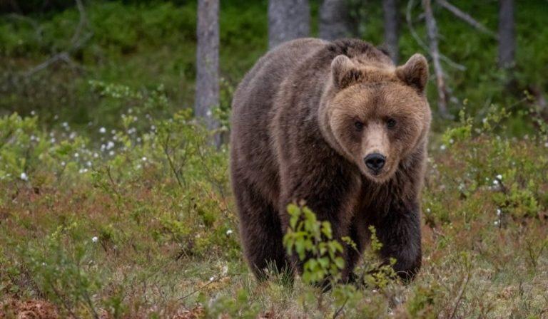 Catturato orso m49 Trentino