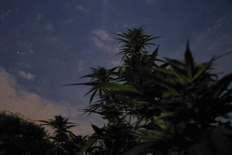 Cannabis light, il CBD viene riconosciuto come un stupefacente