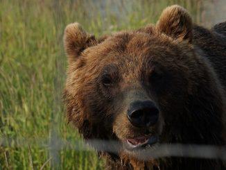 Guardiano entra nella gabbia dell'orso e viene ucciso
