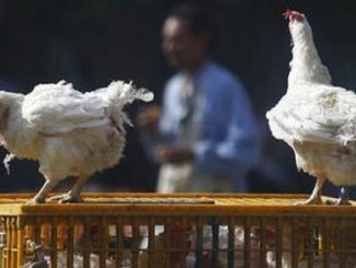 Europa: allarme influenza aviaria