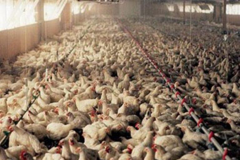 aviaria focolaio Regno Unito