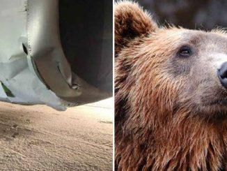 Alaska, mamma orsa uccisa da un aereo