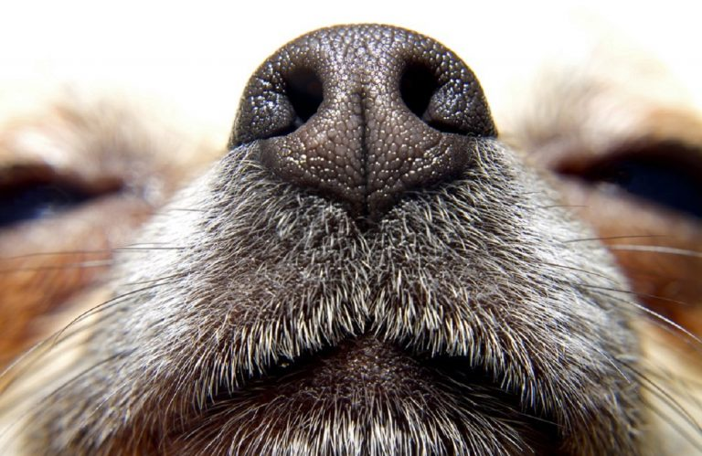 coronavirus cani