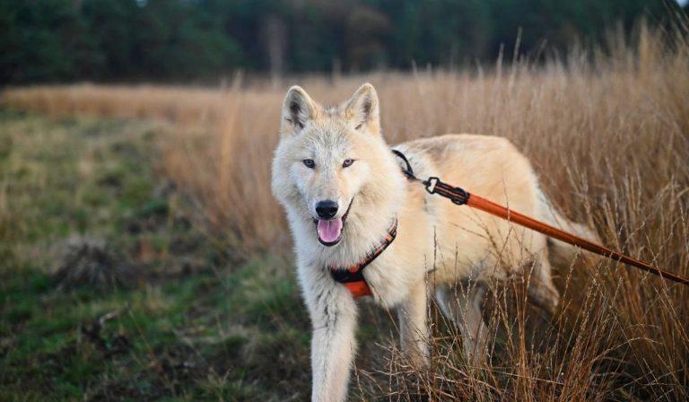 figlia donna sbranata lupi cecoslovacchi