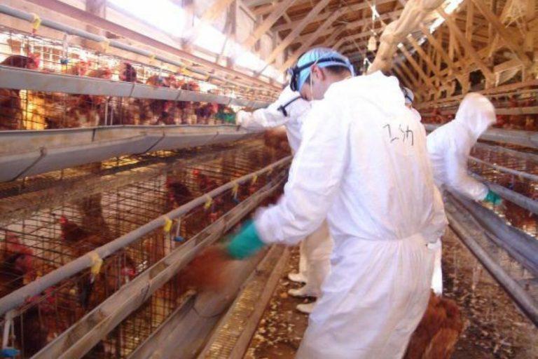 Giappone influenza aviaria Hiroshima