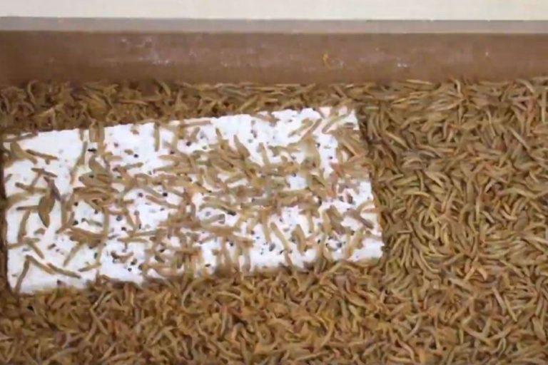 efsa tarme della farina