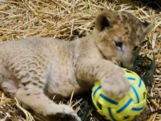 Ecco Simba, tenero leocino nato con inseminazione artificiale