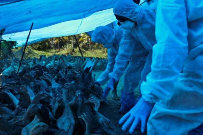 India influenza aviaria