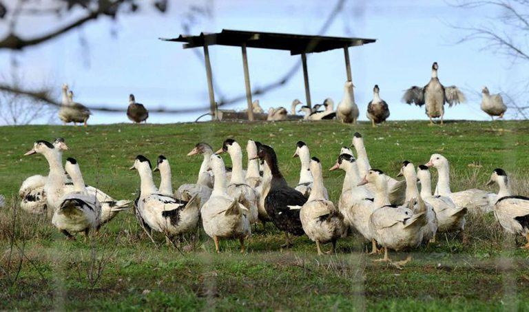 influenza aviaria francia 768x453