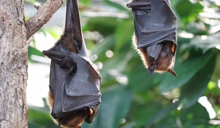 Queensland pipistrelli positivi lyssavirus