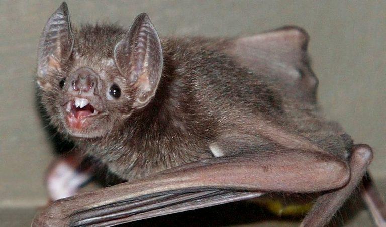 rabbia pipistrello 768x452