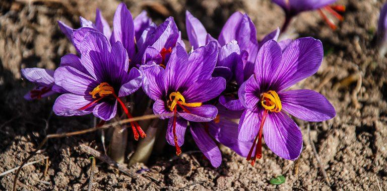 Colchicina-Zafferano-fiore