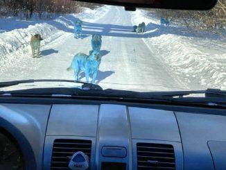 cani color blu in russia forse per rifiuti chimici
