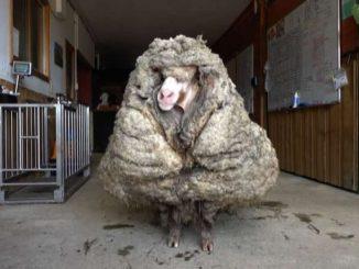 Pecora record in Australia: trovata con 35 chili di vello