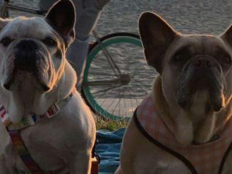 Ritrovati sani e salvi i due bulldog di Lady Gaga rapiti