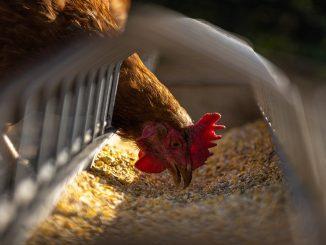 influenza aviaria uomo