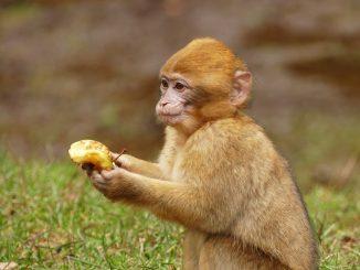 scimmie bali rubano