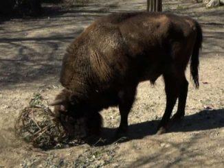 Anche i bisonti europei giocano a palla, nel Parco Natura Viva