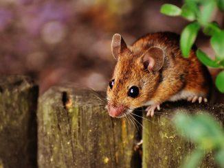 Australia attaccata dai topi