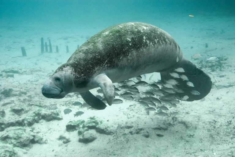 Lamantini morti in Florida, le cause