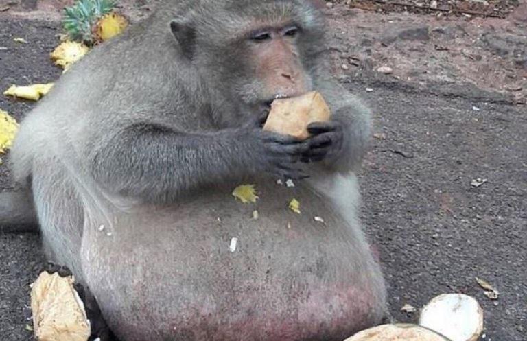 scimmia obesa godzilla