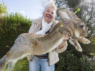 Darius coniglio più grande del mondo