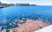 Meduse giganti nel mare triestino