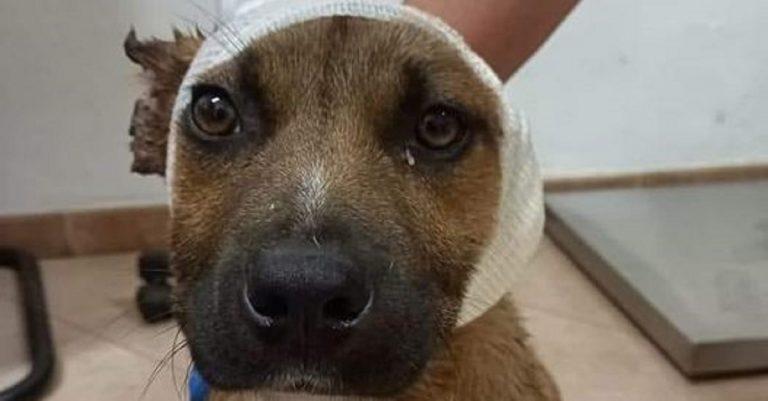 Bambini tagliano le orecchie a un cane randagio con le forbici per divertimento
