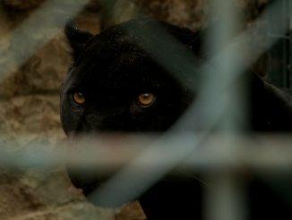 Una pantera nera