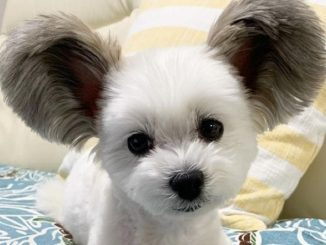 cane topolino