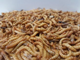 insetti alimento