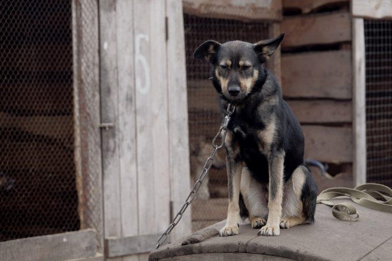 Vietato legare i cani alla catena in Campania: multe da 300 a 2 mila euro