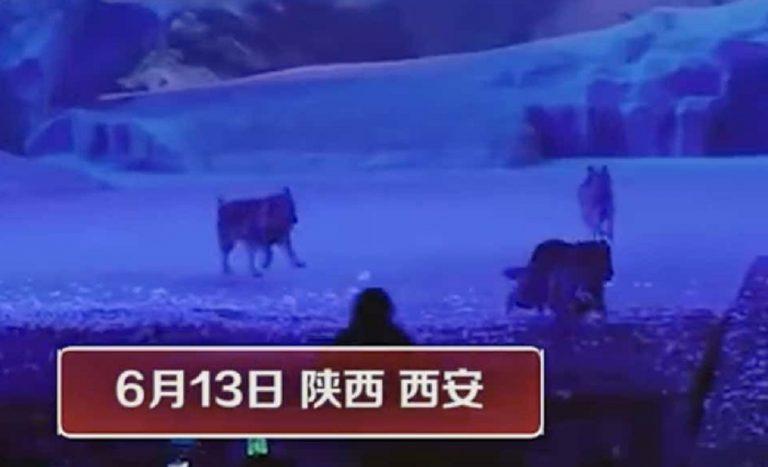 Cina, lupi in uno spettacolo teatrale