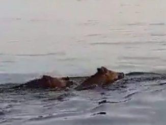 Due cinghiali che nuotano in mare