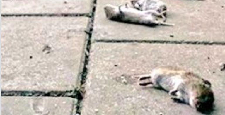topi morti Veneto Friuli