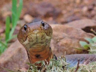 Un cobra del Mozambico, molto ricercato nei terrari