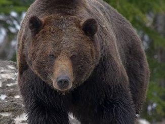 Un esemplare di grizzly