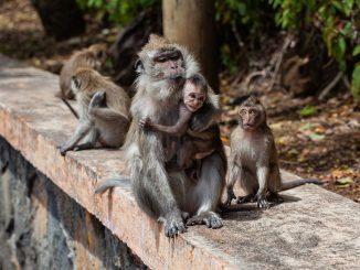 Scimmie morte o ferite in India