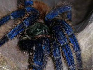 Un ragno come quello individuato a Roma