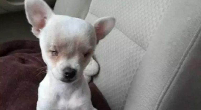 chihuahua senza occhi